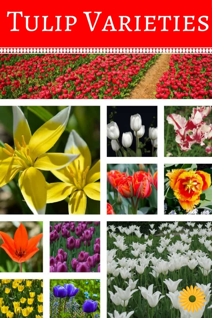 8 Tulip Varieties For Your Garden