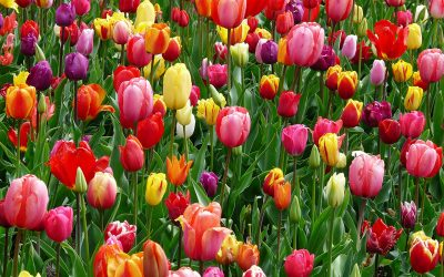 cheerful tulip patch