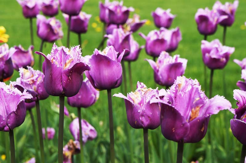 fringed purple tulips