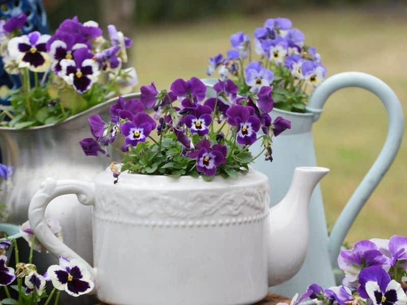 Pansies in a white porcelain teapot
