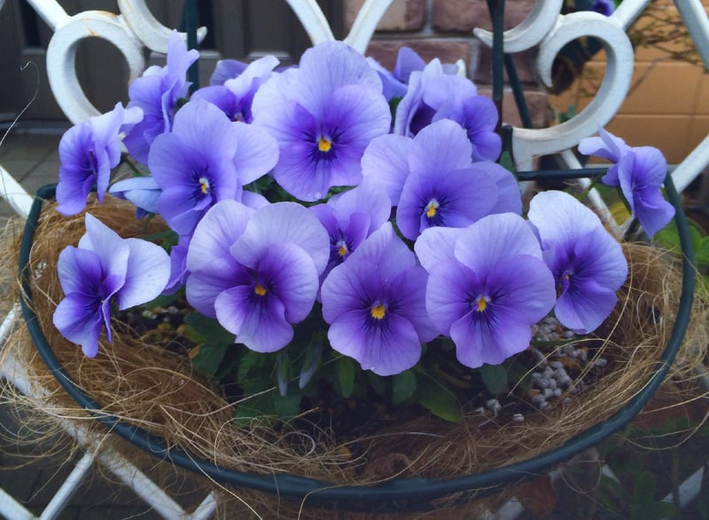 pansy sumire flowers