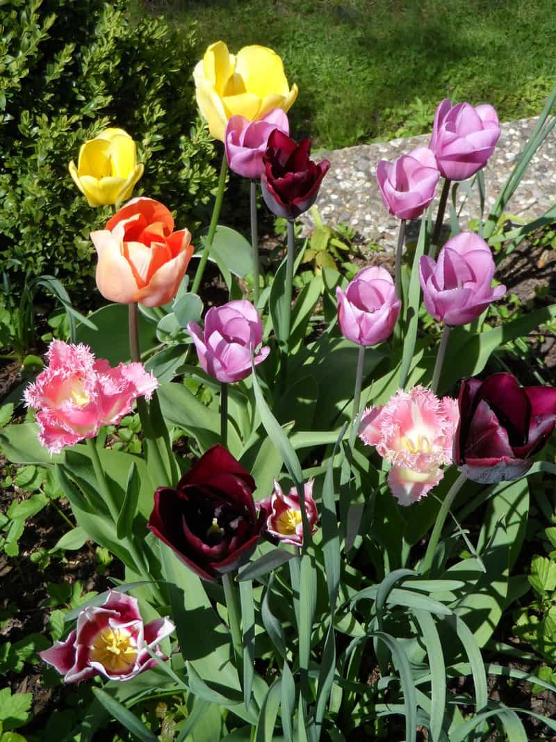 parrot tulips in flower bed