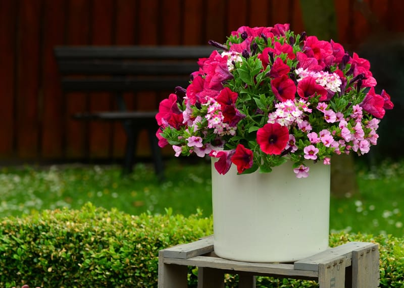 Red and pink petunia flwoers in a white container