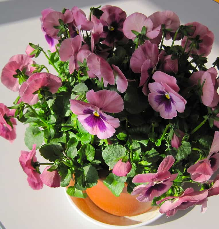 rose pansy winter flowers