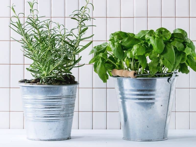 Potted rosemary and basil growing in the kitchen