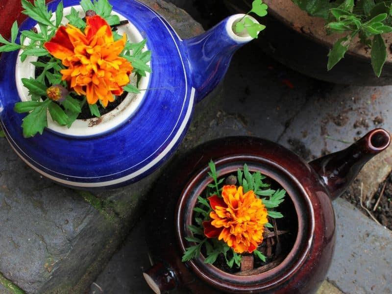 Mariglod flower growing in a tea kettle