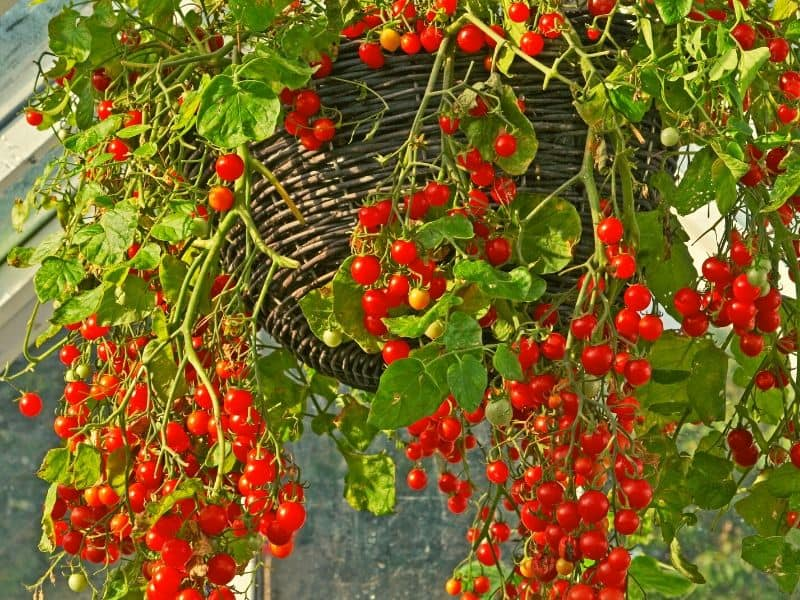 Hanging basket with tomatoes hanging from it