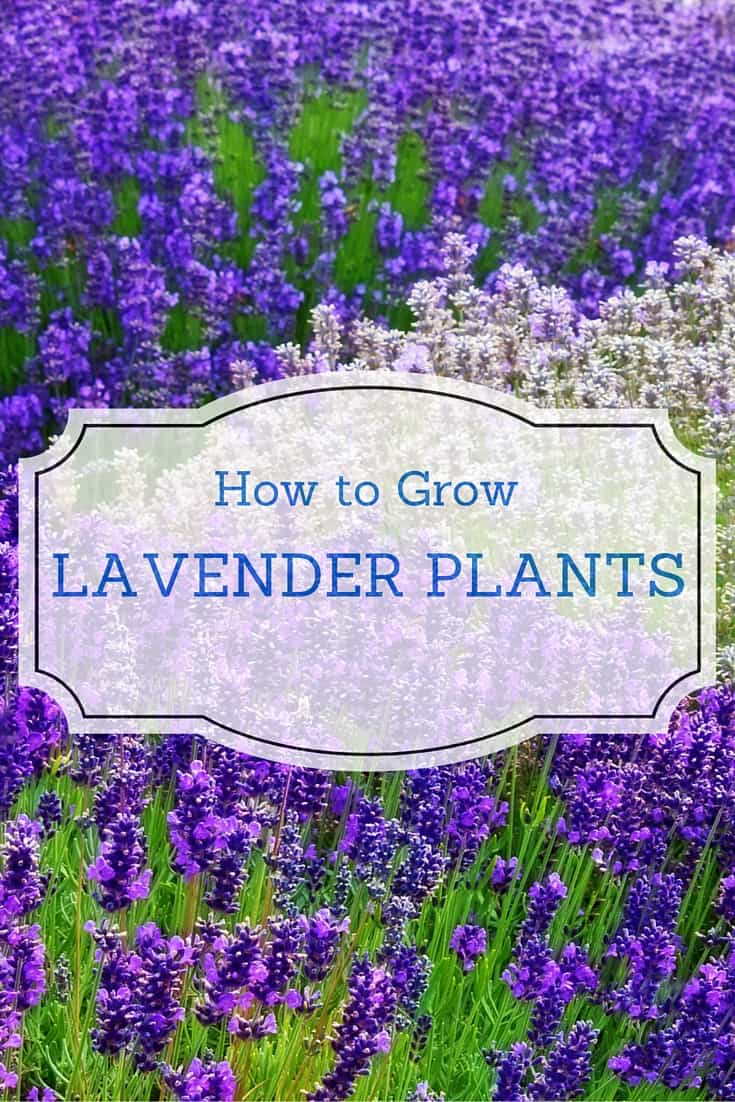 How to grow lavender plants for Easy to grow outdoor plants