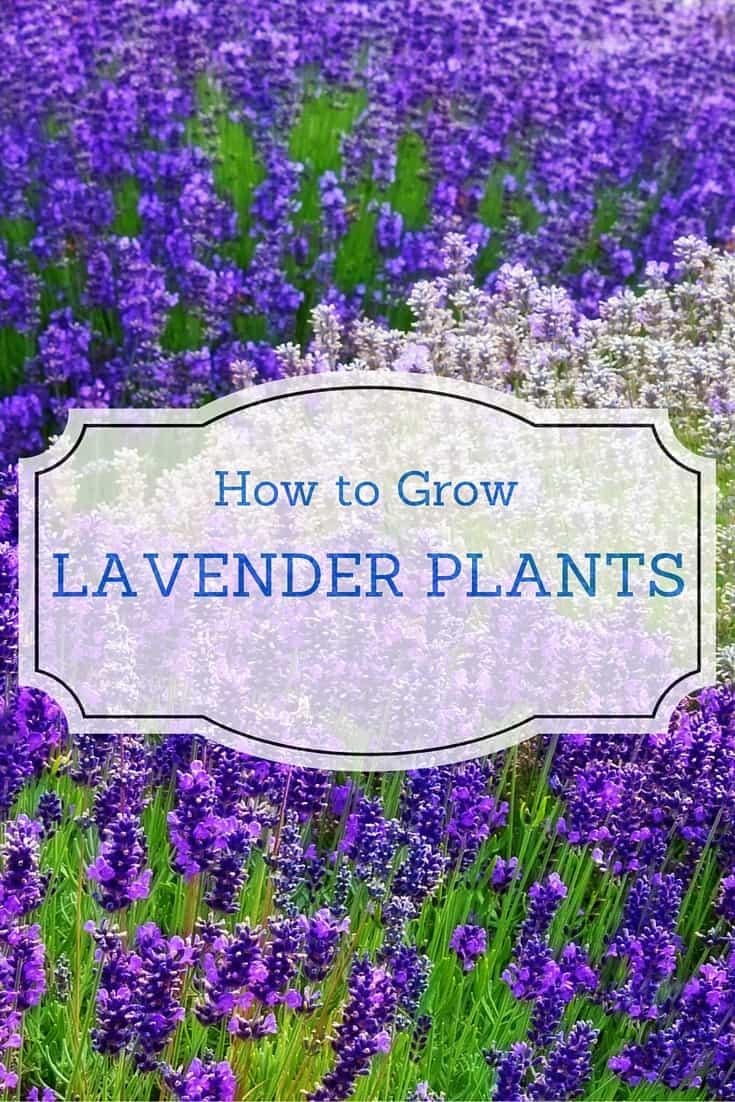 how to grow lavender plants backyard garden lover. Black Bedroom Furniture Sets. Home Design Ideas