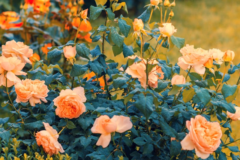 Vintage colored rose bush in the garden