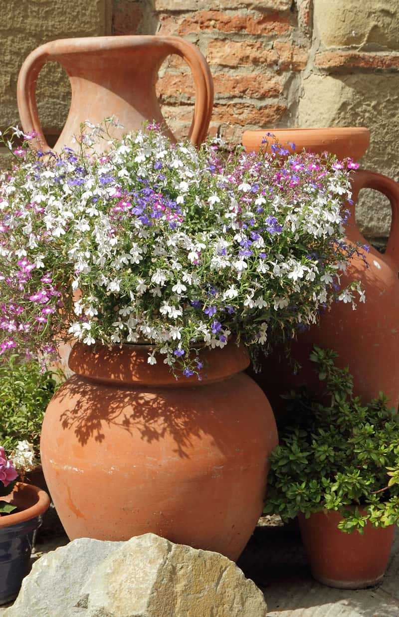 ceramic planter filled with lobelia