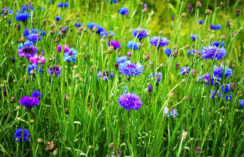 No Matter What You Call These Flowers: Bacheloru0027s Buttons, Blue Bottles, Or  Cornflowers, These Delicately Fragrant And Cheerful Flowers Looking Like ...
