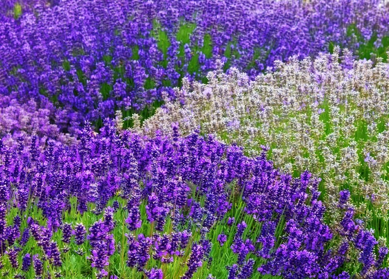 Learn how to grow lavender plants in your yard for daily enjoyment all summer long!