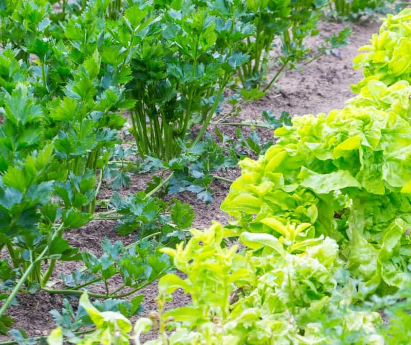 celery and lettuce growing in the garden