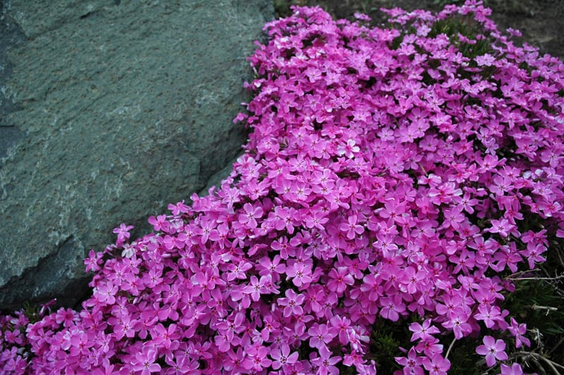 pink phlox groundcover