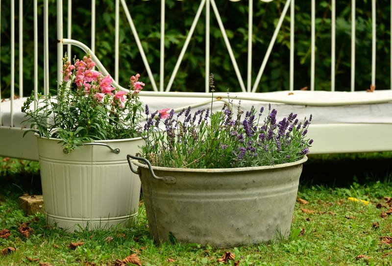 potted lavender plants
