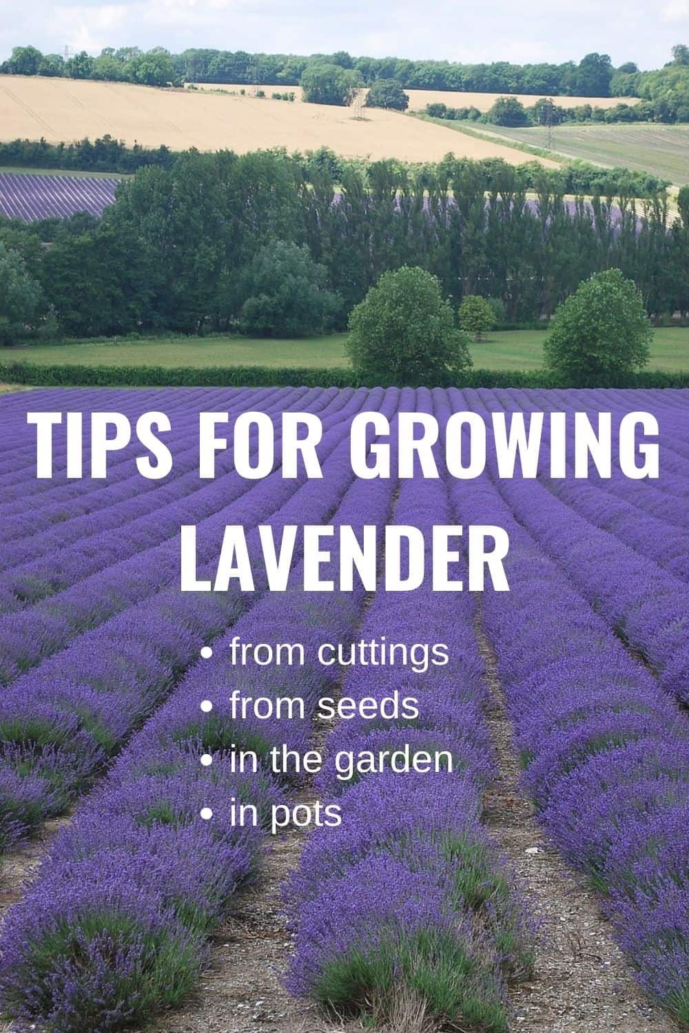 tips for growing lavender: from cuttings, from seeds, in the garden, and in pots