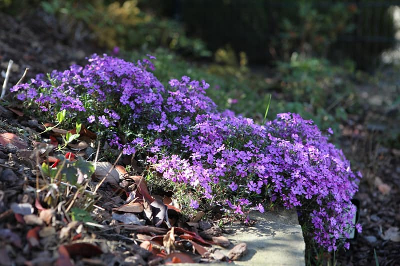 tufted phlox spilling over a rock
