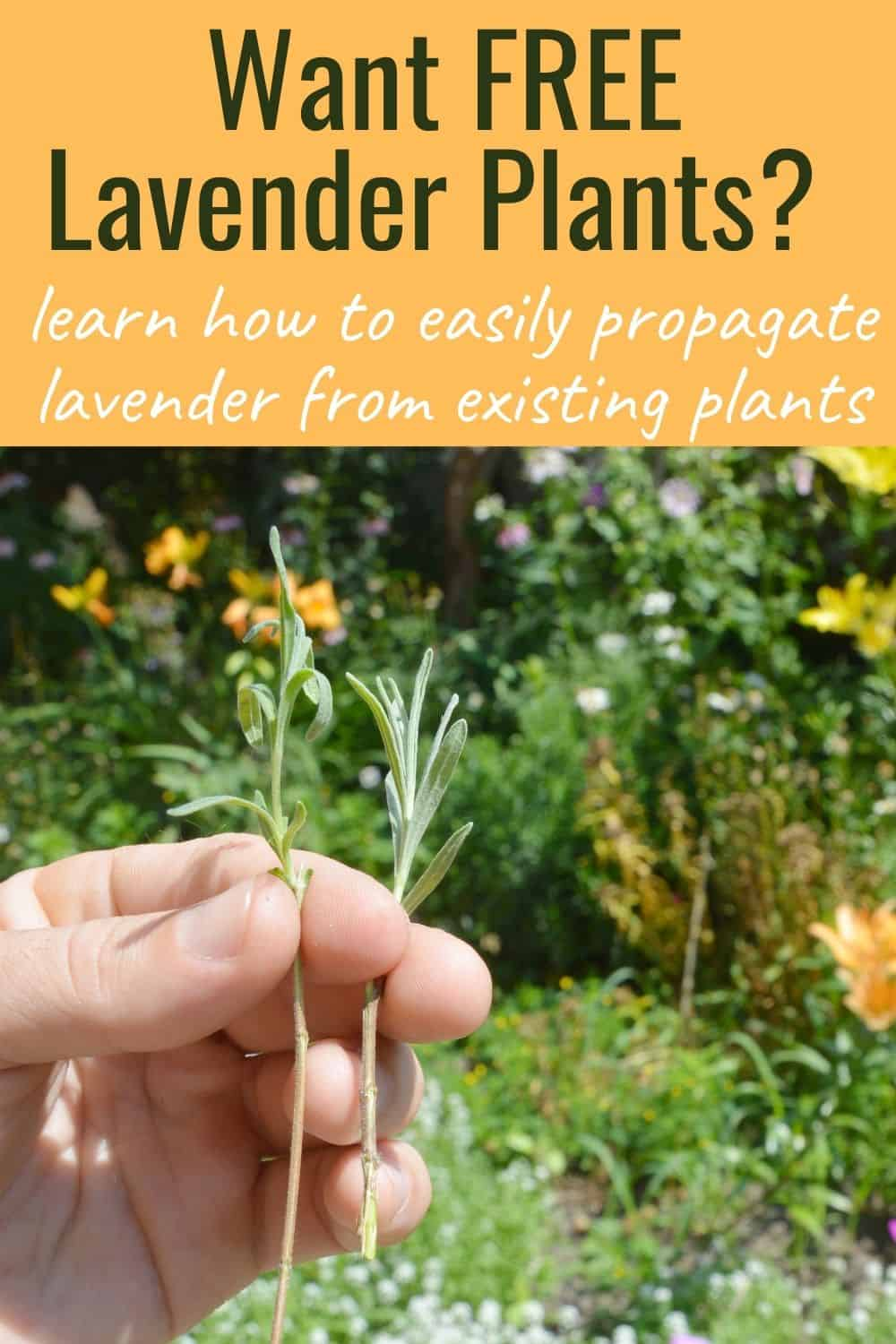 Want free lavender plants? Learn how to easily propagate lavender from existing plants
