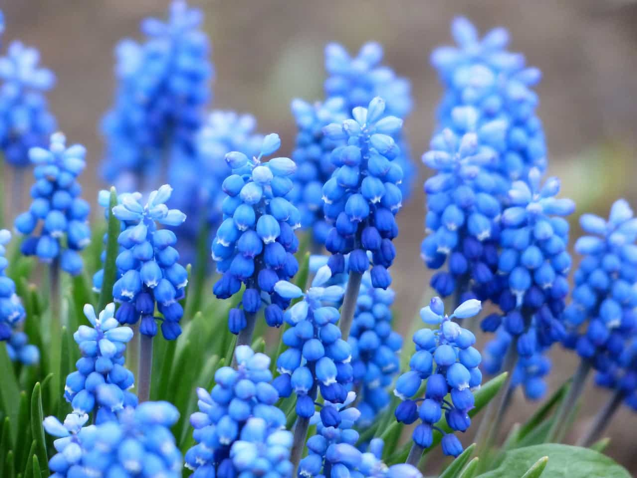 Muscari - Common Grape Hyacinth