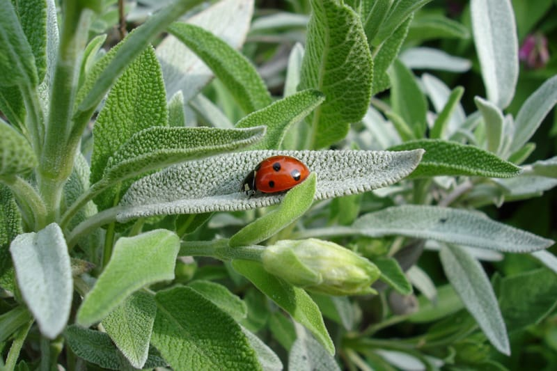 Sage herb with a ladybug in my garden