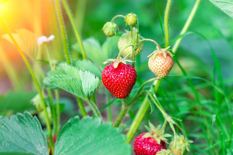 Strawberry on the garden