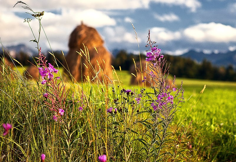 wildflowers and hay