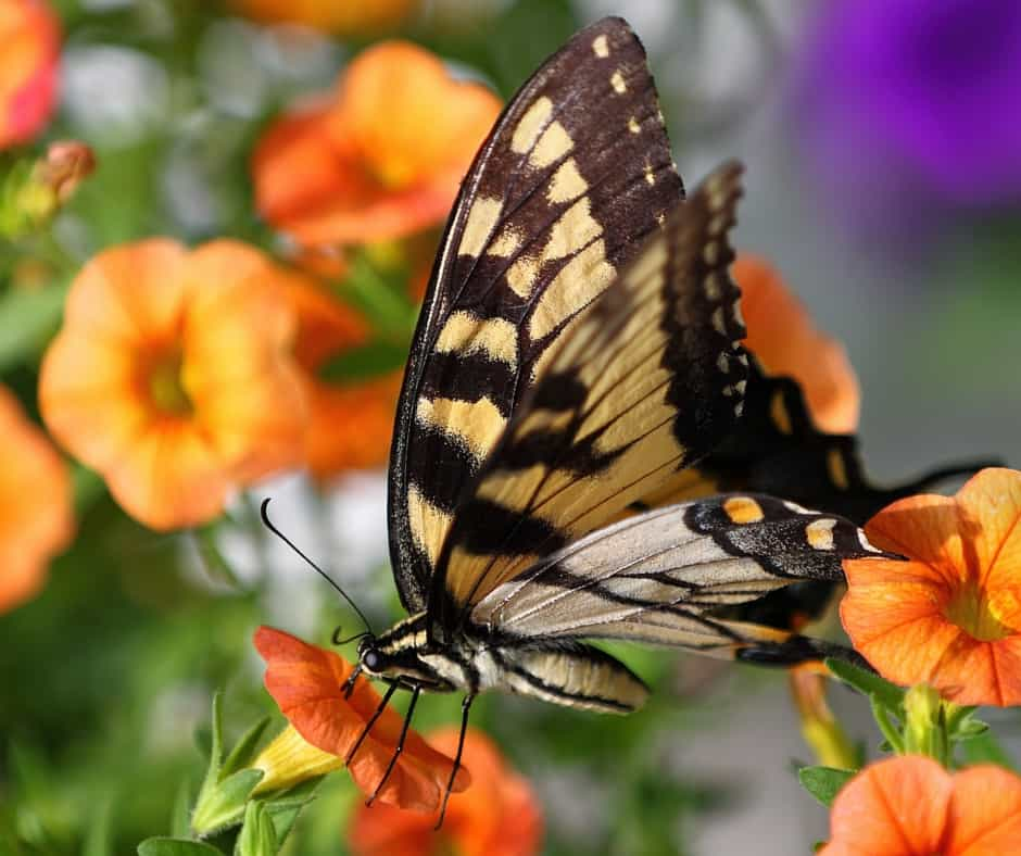 Butterfly sipping nectar from a vibrantly colored flower - learn how to attract wildlife to your garden