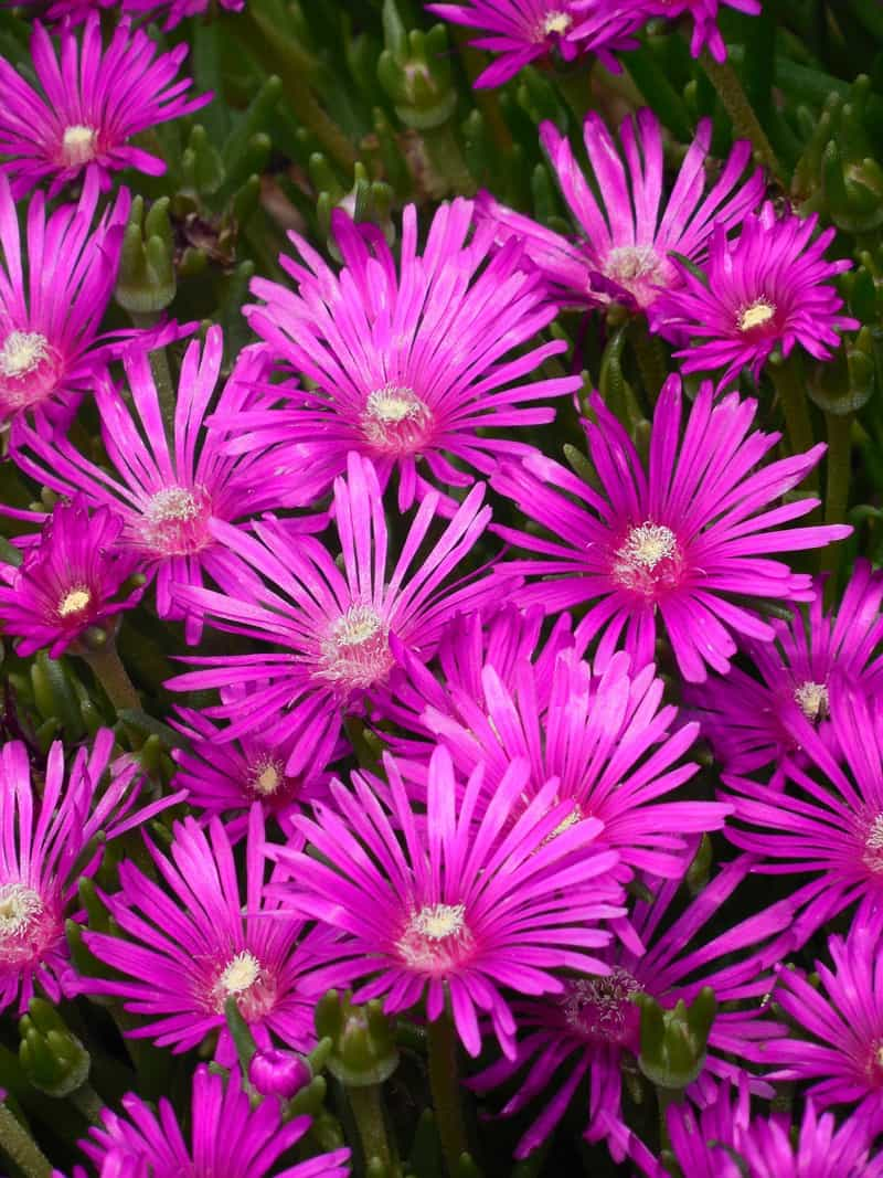 bright pink ice plant ground cover