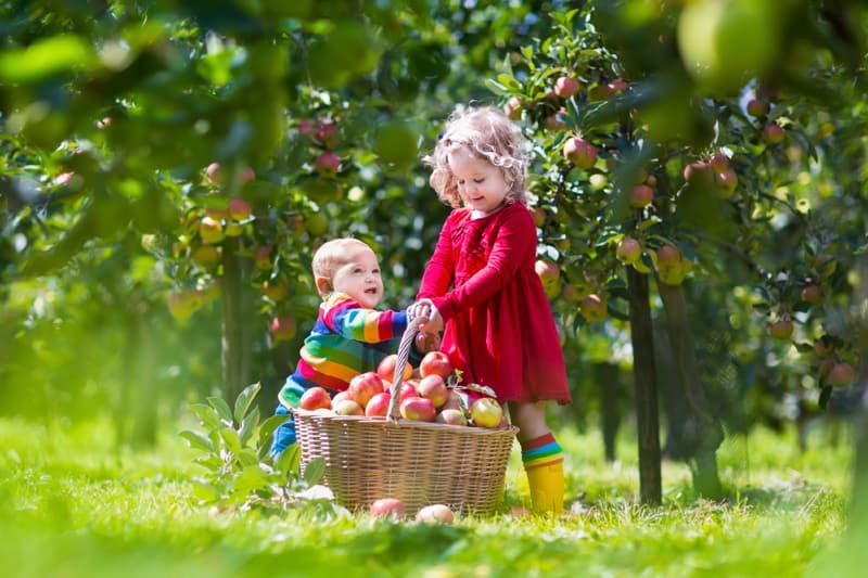 Children picking apples from an apple tree orchard. Outdoor fun for children