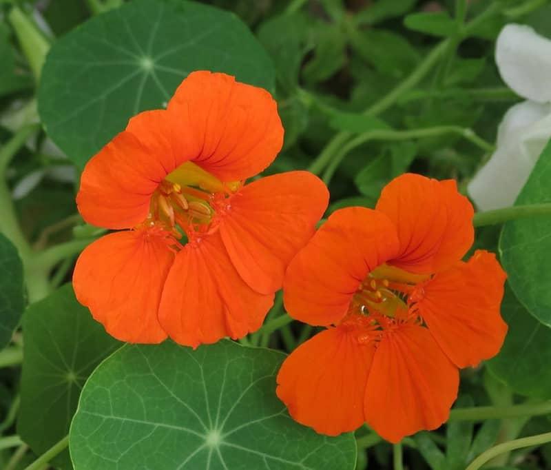 Bright orange nasturtium flowers