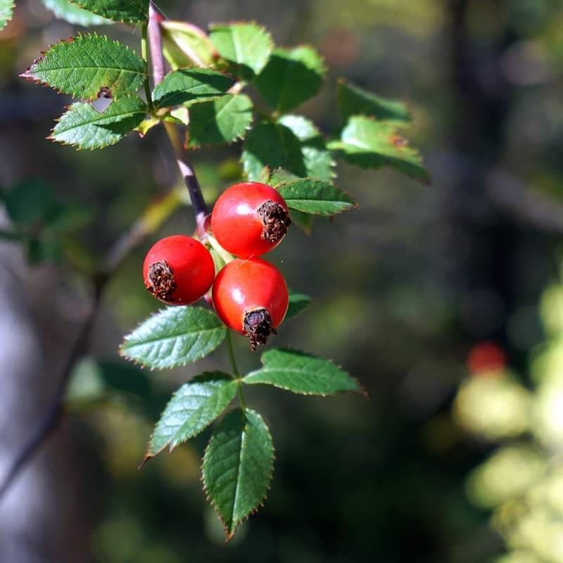 Rosehip berries on a branch