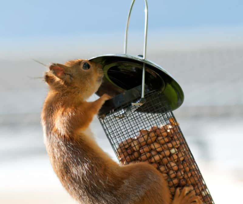A squirrel getting into a bird feeder