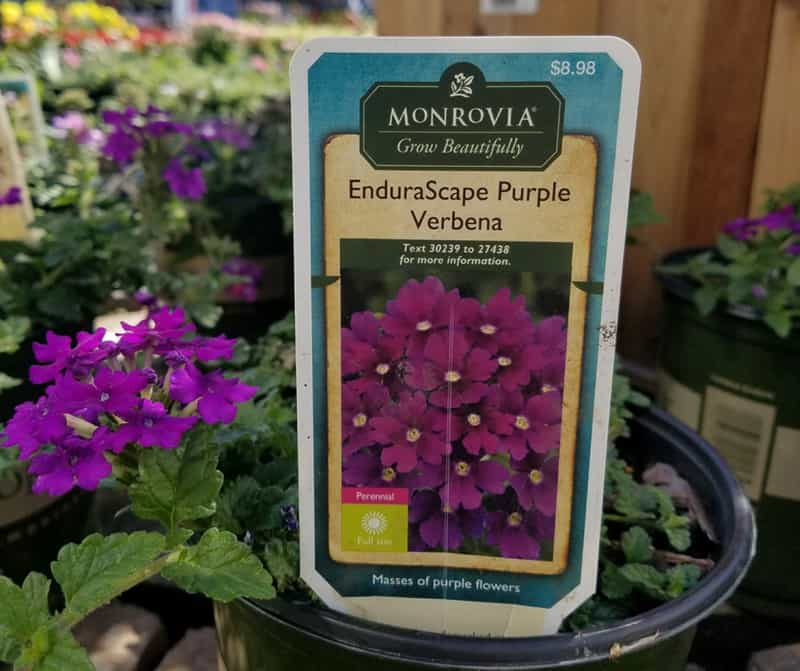 This EnduraScape Purple Verbena puts out lots of flowers from spring till fall.