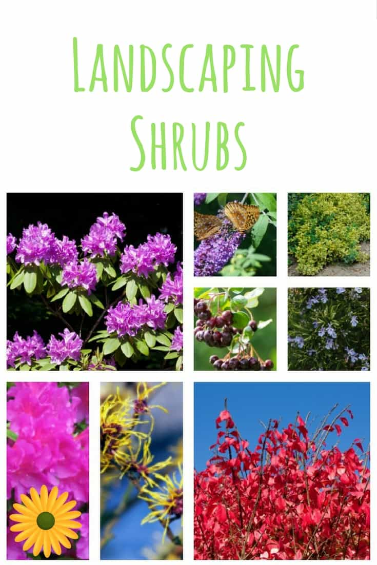 Add one of more of these beautiful landscaping shrubs to beautify your backyard