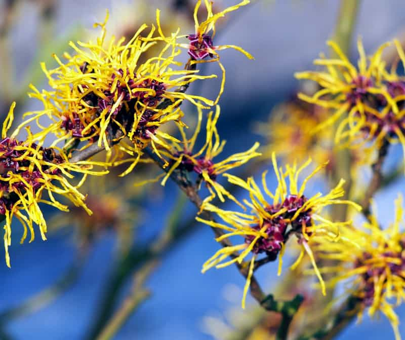 Witch Hazel flowering shrub