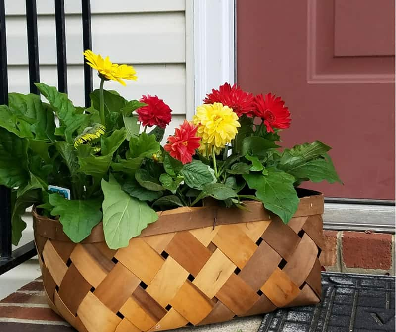 This market basket filled wiht colorful Monrovia flowers adds a welcome show of color to my simple front door.