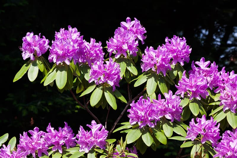 Pink rhododendron shrub