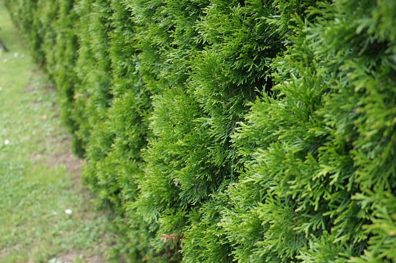 Thuja shrubs