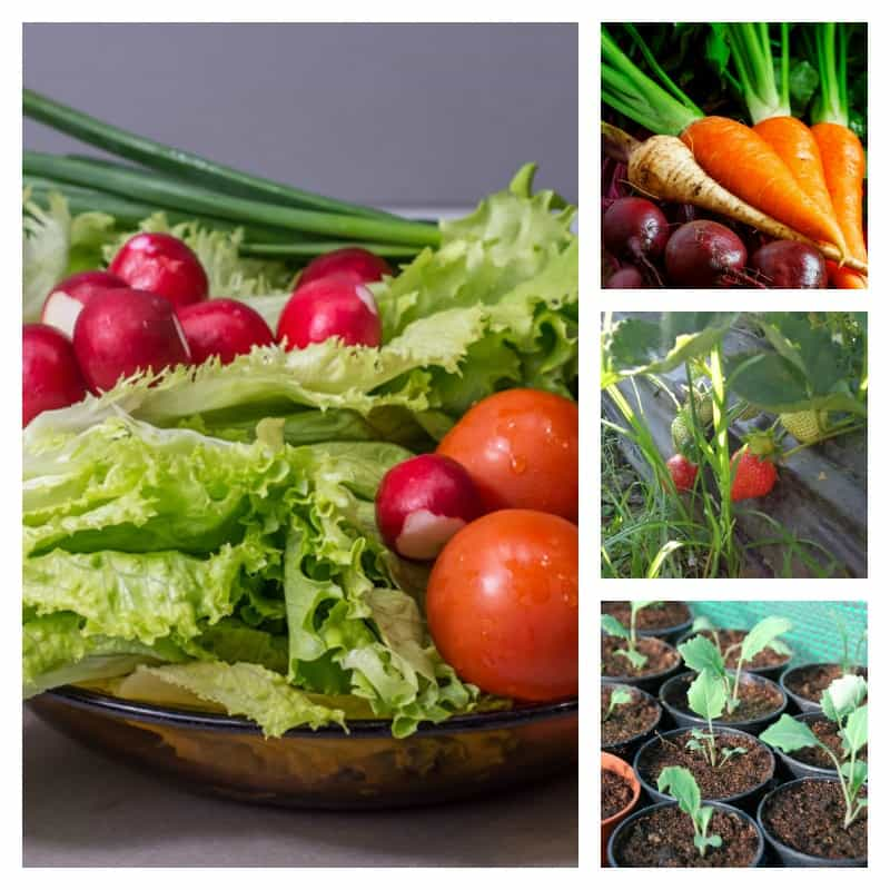 vegetables collage: radishes, lettuce, carrots, parsnips and more
