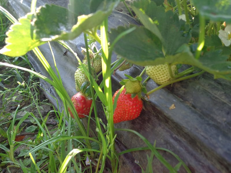 Delicious early strawberries