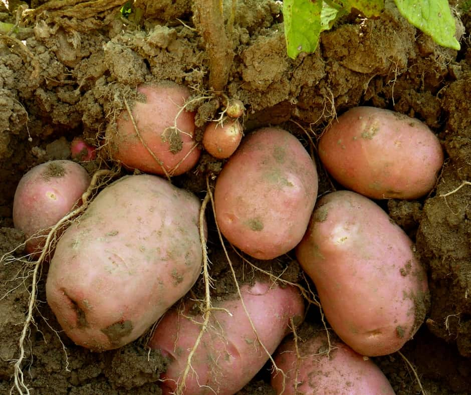 Homegrown potatoes