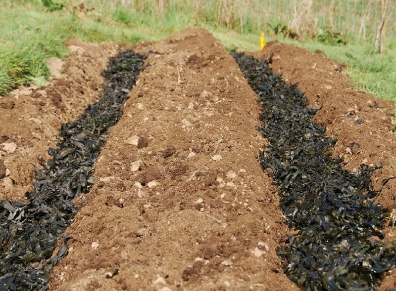 Plant potatoes in seaweed lined trenches