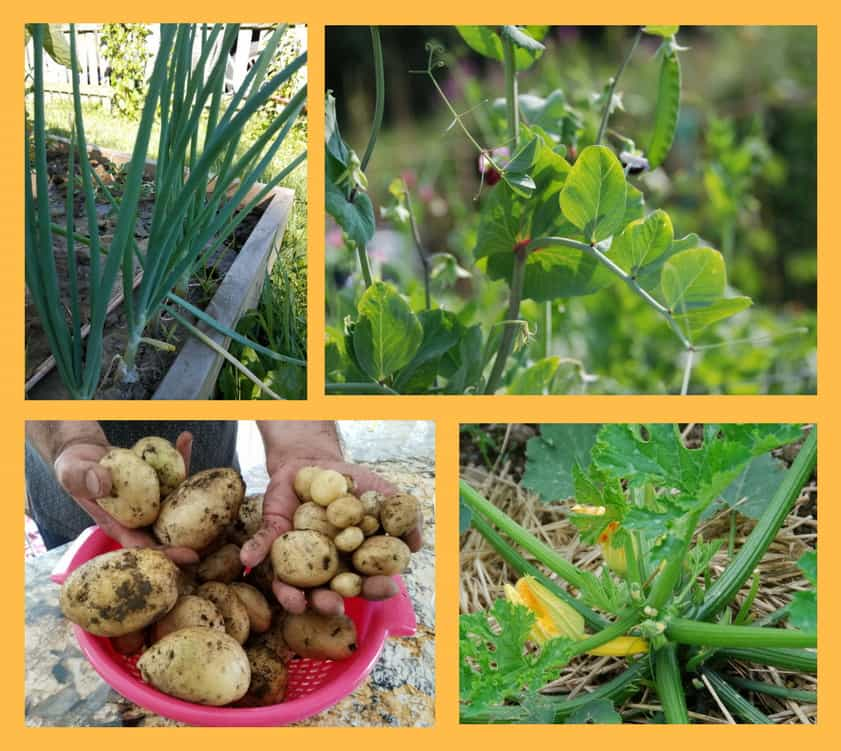 collage of easy to grow vegetables: onions, zucchini, potatoes and peas