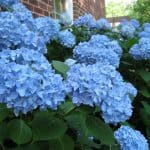 How to Care for Hydrangea Bushes