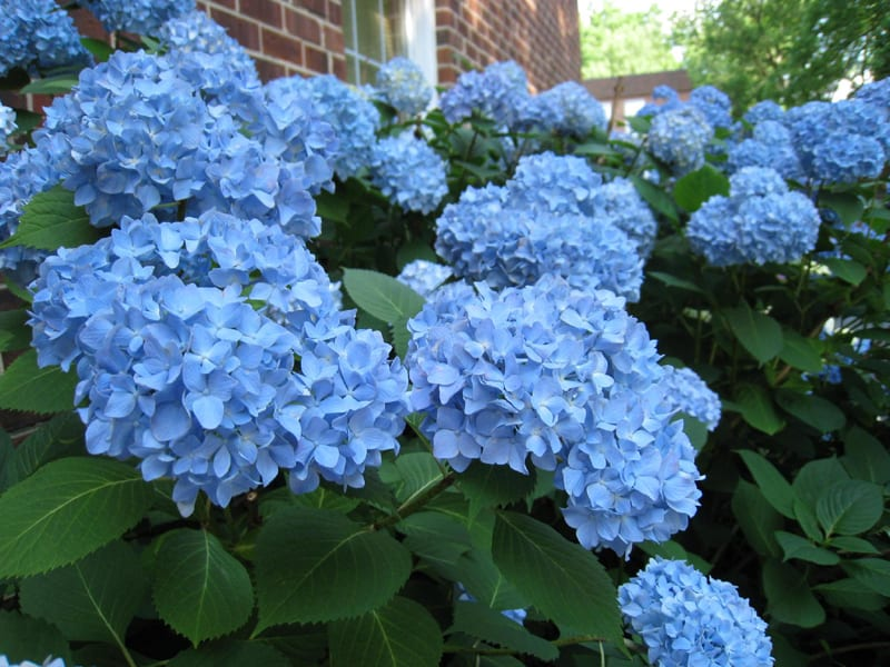 Gorgeous blue hydrangea mopheads. Learn how to care for hydrangea bushes and enjoy blooms all summer long!
