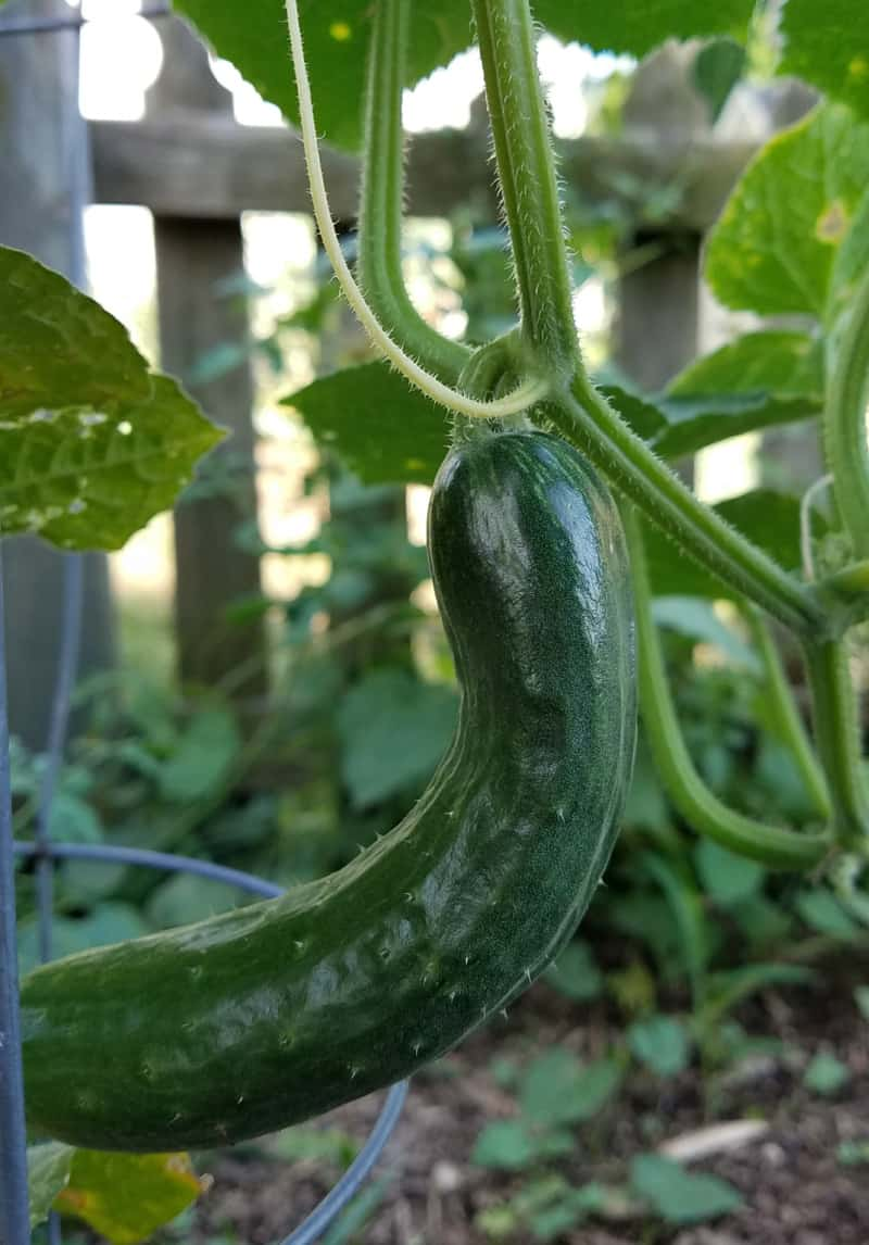 Cucumber on vine, ready to pick