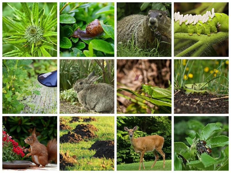 Collage of garden enemies: weeds, slugs, hornworms, rabbits, deer and more.