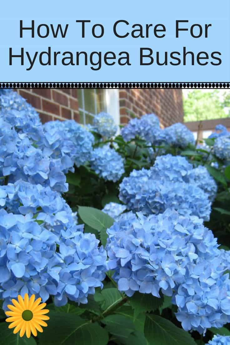 How to care for hydrangea plants bushes tips for for Easy to care for outdoor flowering plants