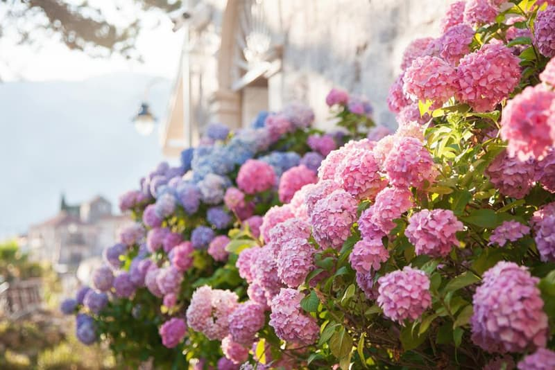 Manage your soil's pH level to achieve varied hydrangea colors